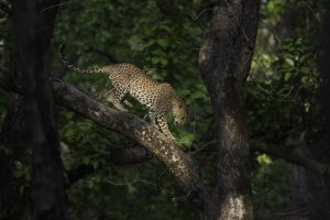 Status of leopards in India